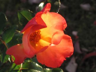 Harvest Rose