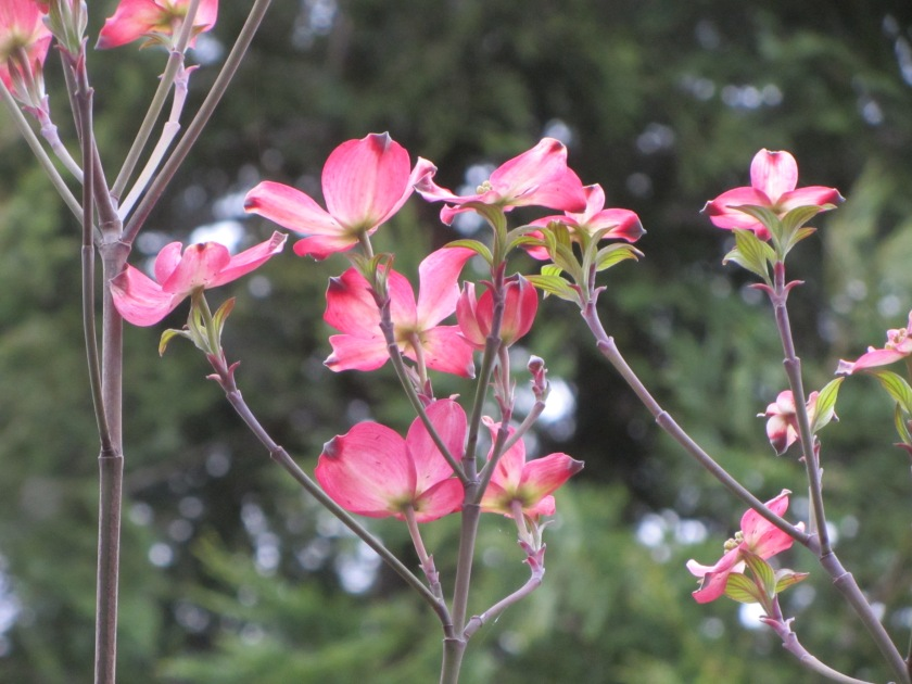 Beloved, blessed dogwood is blooming outside my window again!