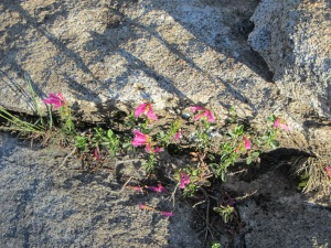 Mountain flowers in granite