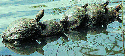 Turtle Family! Fab photo courtesy of Michel Kotski
