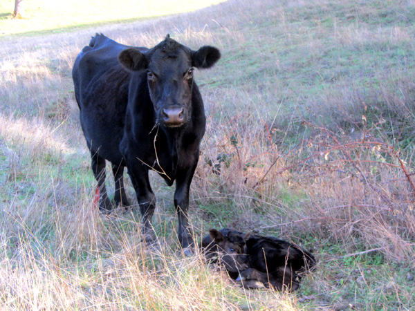 "Mama cow fiercely eyeing me,""Don't get too close to my baby!"""