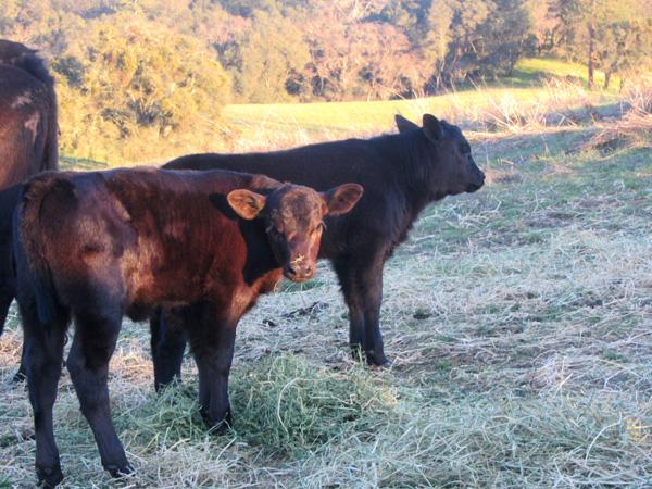 BIG cow babies!