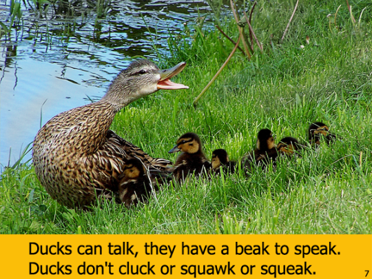 Ducks Can is Laurie Story word play celebrating a few of our natural wonders found in ducks.