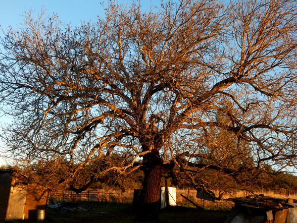 Walnut tree at dad's ranch gave it's bounty and now stands sunlit and winter bare.