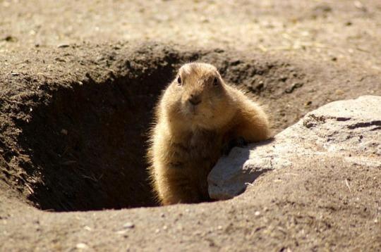 groundhog-629863_640