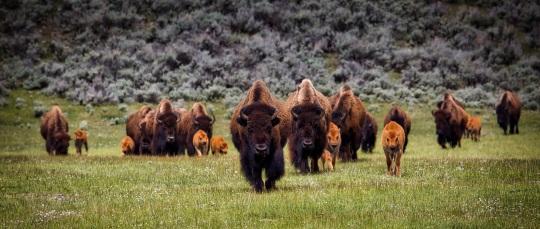 bison-1581895